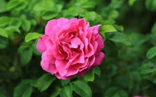 Виды цветов у розы, немного про ее листья и плоды