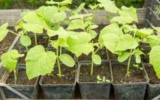 Выращивание рассады огурцов: пошаговая инструкция, способы и рекомендации