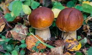 Как отличить боровик от ложного белого гриба