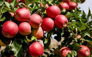 Сорт яблонь Веньяминовское — любимец садоводов