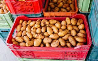 Выбираем оптимальный сорт картофеля для разведения в России