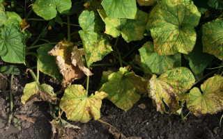 Основные причины увядания листьев у огурцов