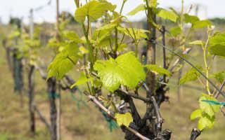Столовый виноград для средней полосы: обзор лучших сортов