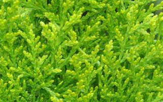Уход за кипарисовиком: сорта, советы по выращиванию