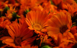 Календула:выращивание, уход, полезные свойства