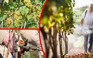 Летняя обрезка винограда: необходимая мера и нюансы ее выполнения