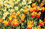 Осенняя посадка тюльпанов: выбор луковиц, точное время посадки