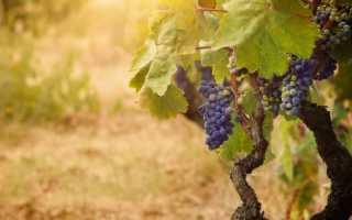 Какие морозостойкие сорта винограда стоит культивировать в Подмосковье — выбирайте именно их для своего дачного участка