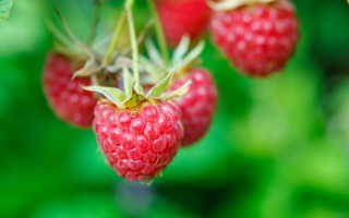 Чем подкормить малину весной для хорошего урожая?