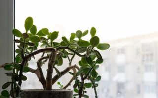 Денежное дерево: как ухаживать, чтобы разбогатеть