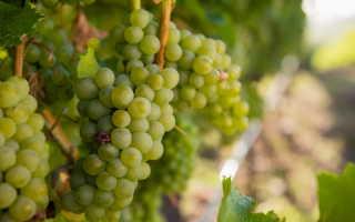 Как вырастить богатый урожай винограда в средней полосе: 3 действенных способа