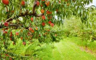 Уход за персиком: как избавиться от болезней и вредителей