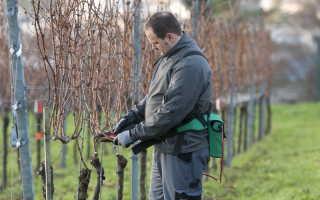 Как обрезать виноград, чтобы собрать щедрый урожай