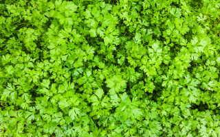 Витаминная зелень: петрушка, укроп, лук-порей. Свойства и уход