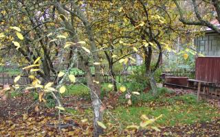 Опасно ли для растения, если на нем зимой остались листья? Как спасти такие деревья