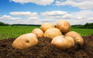 Время сбора урожая картофеля: как определить, созрели клубни или нет