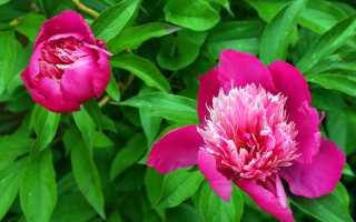 Особый уход за пионами: причины плохого цветения