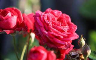 Канадские розы — находка для холодных регионов. 5 шикарных сортов