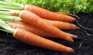 Морковь: условия выращивания, сроки посева и способы посадки