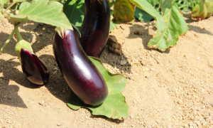 Полезные советы по выращиванию баклажанов