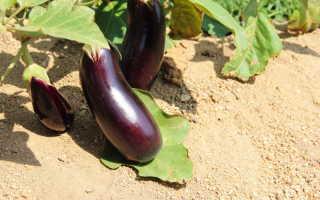 Огородное чудо: холодостойкие сорта баклажанов для открытого грунта