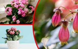 Правила ухода за каланхоэ, соблюдение которых обеспечит его пышное цветение