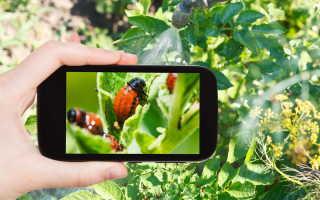 Защита и подкормка картофеля: борьба с вредителями и болезнями в течение сезона