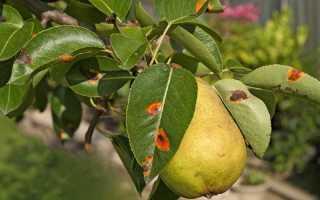 Желто-оранжевые пятна на листьях груши — главный признак ржавчины грибкового происхождения