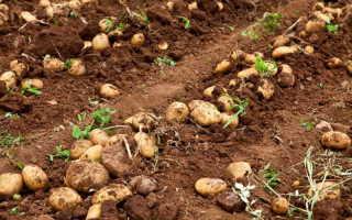 Метод выращивания картофеля по Балабанову — способ получить отменный урожай