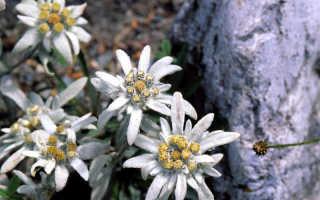 Эдельвейс альпийский и другие виды: выращивание и уход