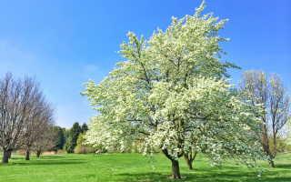 Сорт груши Краснобокая: вкусный фонарик в вашем саду
