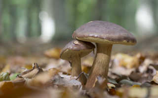 Польский гриб (моховик): как отличить от двойников