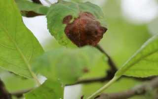 Болезни и паразиты, атакующие яблони и груши