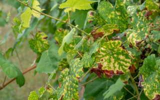 Самые распространенные заболевания, с которыми сталкивается виноград