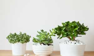 Богатство у вас в доме: уютное место для толстянки и правильный уход за растением