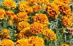 Обильное и продолжительное цветение: яркие однолетники для вашего сада