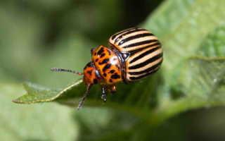 Эффективный способ избавления участка от колорадского жука: горчичный порошок и столовый уксус