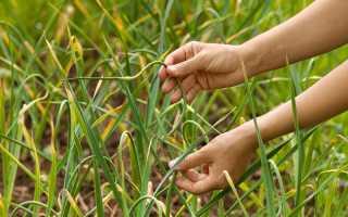 Причины и способы борьбы с пожелтением чеснока