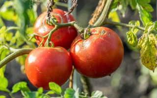 Трещины на кожице томатов в теплице — причины и методы борьбы