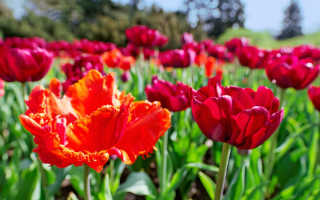 Осень в Подмосковье — время сажать тюльпаны. 4 золотых правила, которые я соблюдаю и выращиваю шикарные цветы