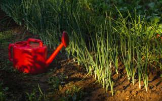 10 правил выращивания озимого лука