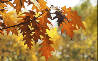 Как выглядит дуб в осеннюю пору