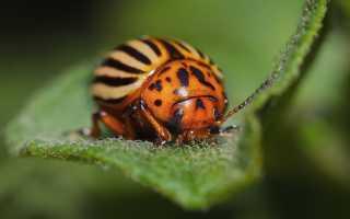 Способ борьбы с колорадским жуком