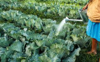 Как спасти капусту от вредителей при помощи столового уксуса