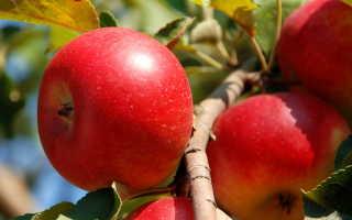 Плодовитые малютки. Полезная информация о популярных сортах колонновидных яблонь