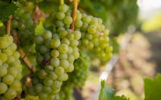 Схема обработки винограда – используем медный и железный купоросы + Видео