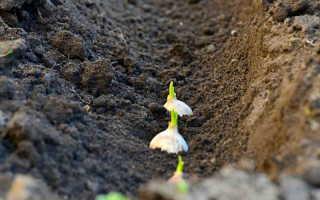 Как я спасаю урожай озимого чеснока, если всходы появились до наступления холодов — проблема решаема