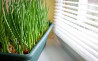 Старожил подоконников: лук «на перо» в домашних условиях
