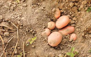 Лучшие сорта картофеля, наиболее устойчивые к парше