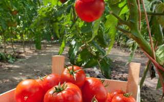Чтобы томатов было больше: правила ухода